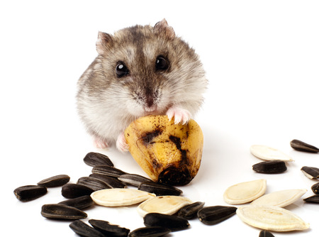 dwarf hamster: hamster holding a old banana Stock Photo