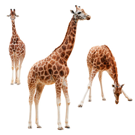 cute giraffe: Three giraffe in different positions isolated with clipping path