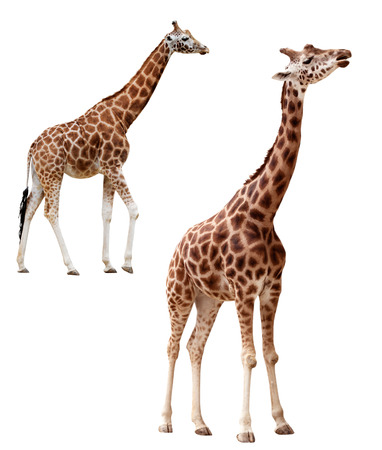 animal head giraffe: Two giraffes in different positions isolated with clipping path