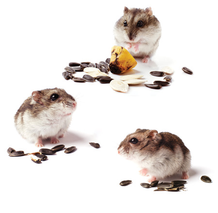 hamsters: set of hamsters with grain on white background