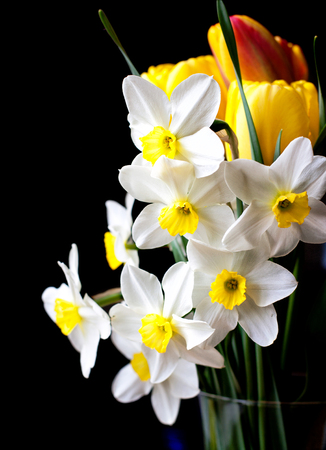 white springtime daffodil flower isolated on black background Stock Photo
