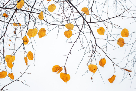 Yellow last leaves on the branches of a tree Linden in autumn
