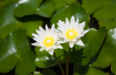 white lily in canal Stock Photo