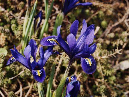 reticulata iris: the first spring flowers Stock Photo