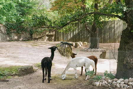 Chicago, USA - September 25 2015: Llamas in the public zoo in Chicago, USA Editorial
