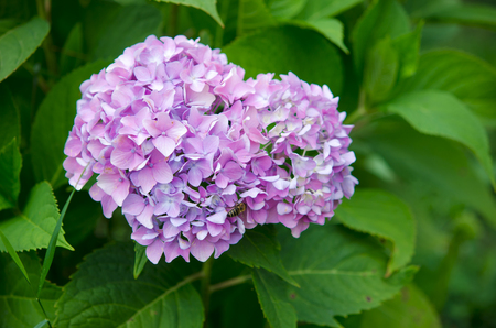 bigleaf hydrangea: Hydrangea,Big-leaf Hydrangea,Laurustinus,beautiful purple  flowers blooming in the garden in summer