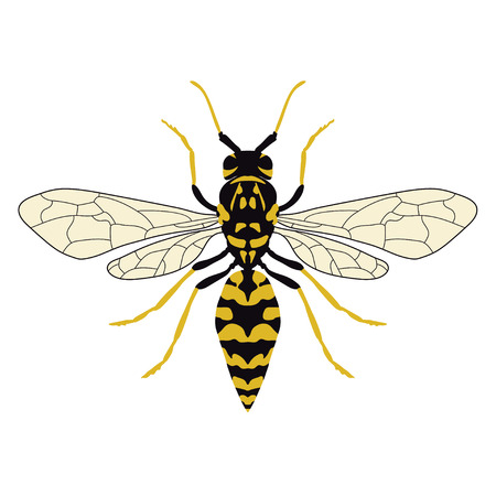 Vector illustration of a top view of a wasp Çizim