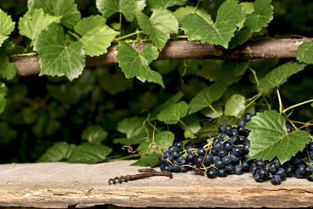 Black wine grapes, fruits and branches with leaves and curlicues. On an old wooden surface an old bottle corkscrew.