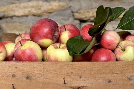 Fresh ripe homemade apples, collected in a box together with a sheet, against the background of a sandy stone wall.