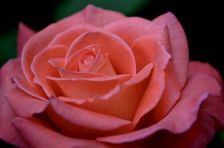 En el jardín, una rosa escarlata de color rosa brillante, una flor grande, se abrió para todo el marco.