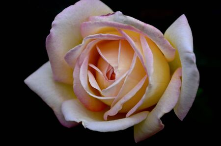 The floor blossomed light yellow with a pink tinge rose, the flower on top of the center on a dark background. Standard-Bild