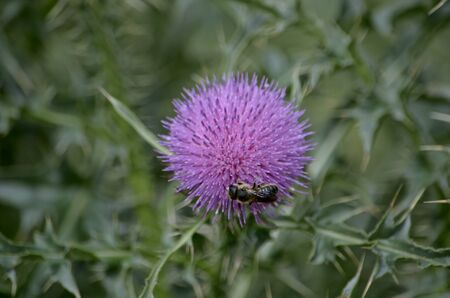 Thistle in the steppe of purple color bloomed prickly flower and collecting nectar or pollen bee. 免版税图像