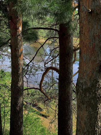 Wooded area in the square of the city of Surgut Russia Yugra. The trunks of the pines are a clear sunny day along the swarm of the Ob River. Фото со стока