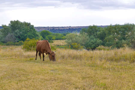 One brown cow grazes against the backdrop of the natural landscape.