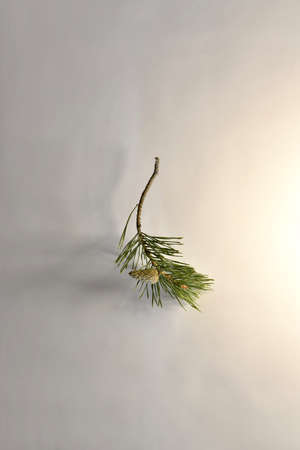 A branch of pine with one not blooming, closed cone and with a bare base. Foto de archivo