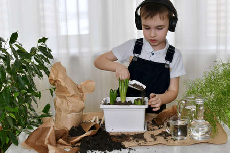 A boy in audio headphones listens to music and does gardening. Poured the soil with a shovel into a flower pot of hyacinths, pours the soil up to the level of sprouted bulbs.