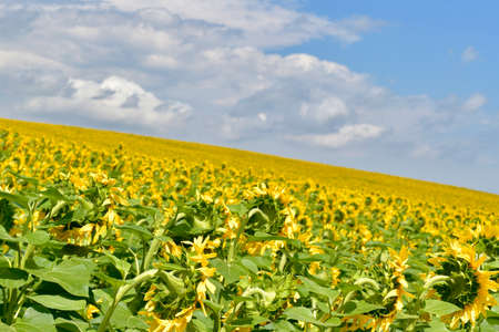 A field of blooming sunflowers, a close-up of the back of flowers, a diagonal slope of the horizon line.