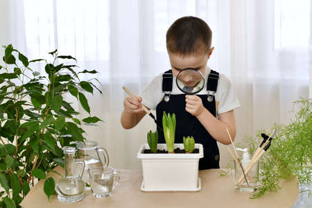 The boy enthusiastically bent down with a magnifying glass to a flower pot with cultivated hyacinths and loosened the soil with a spatula. In the room at home.