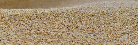 Panoramic of the mound golden of barley grains. With a wavy surface, front view. Reklamní fotografie
