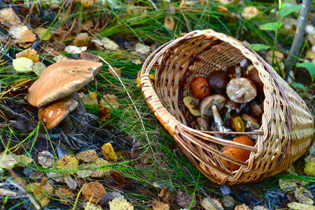 A wicker basket full of mushrooms thrown in a ravine, near the found mushrooms, mixed with fallen birch leaves.