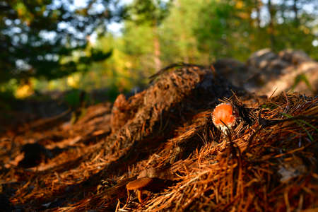 A small fly with a red cap, coming out of a pile of dry red pine needles, in the woods, in the warm rays of the sunset. Stock fotó
