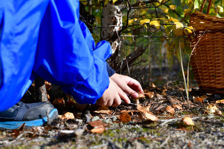 A child cuts a knife found mushroom in the woods, near the delivered basket. Stock fotó