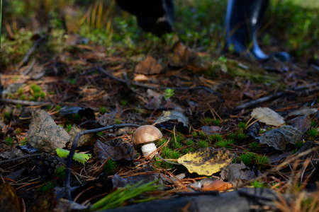 Adult feet in dark rubber boots going to a small brightly lit white boletus mushroom in the forest. With the ability to step and crush.