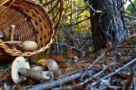 A small white boletus mushroom growing near a tree in the forest. And an abandoned wicker basket with scattered edible mushrooms.