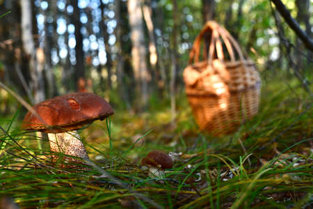 Large and small mushrooms are bright brown podosinoviki next to in the grass sedge, in the woods, near the abandoned basket of vines. In the rays of the sun making its way through the foliage. Stock fotó