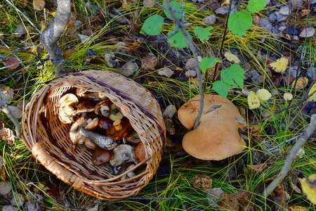 A wicker basket of mushrooms thrown next to a huge mushroom cap that was found. View from above.