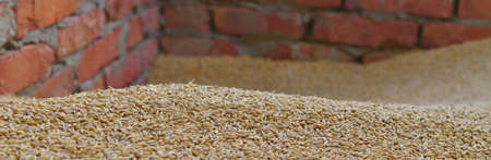 Panoramic of the mound golden of barley grains. With a wavy surface, front view. Stock fotó