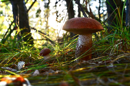 Forest mushrooms, the concept of the family, father and son, grow in the grass, with rays of bright sun between the couple. View from below.