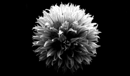 bridegrooms: A black and white chive flower