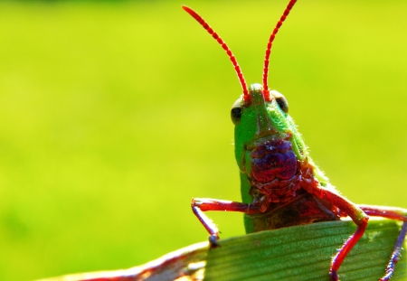A grasshopper peering over a leaf photo