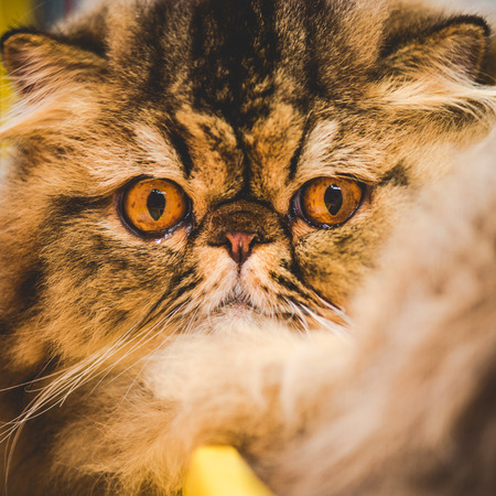 snout: persian cat snout Stock Photo