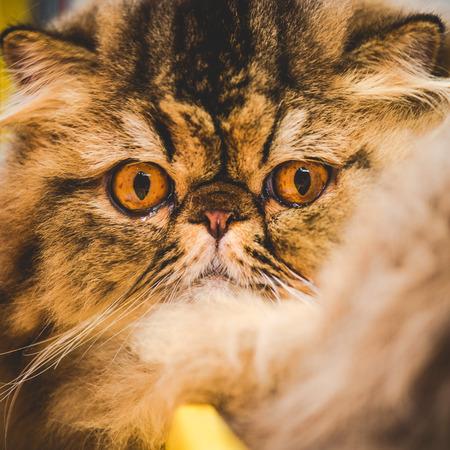 snout: persian cat snout Stock Photo