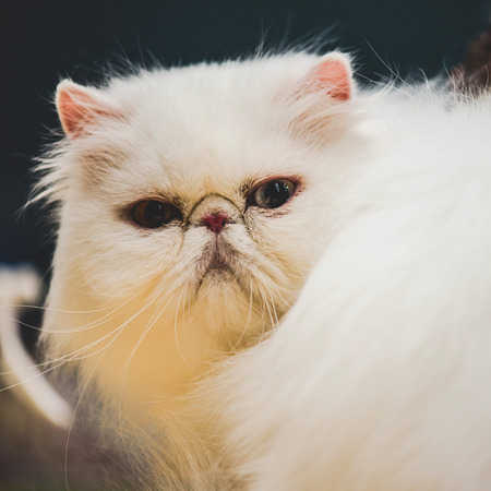 snout: white persian cat snout