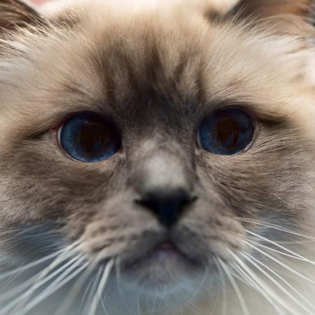 snouts: burmese cat snout