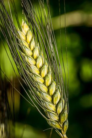 durum: durum wheat ear  triticum durum timilia  poaceae