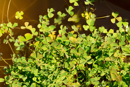 marsilea: water clover - marsilea quadrifolia - marsileaceae