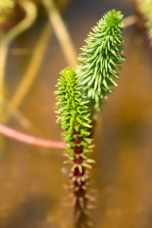 vulgaris: horsetail - hippuris vulgaris - plantaginaceae Stock Photo