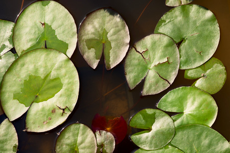 nymphaeaceae: white water lily - nymphaea alba - nymphaeaceae