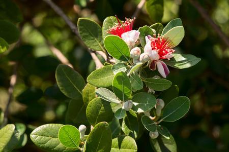 myrtaceae: acca sellowiana - feijioa sellowiana - myrtaceae Stock Photo