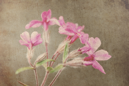 fuchsia: fuchsia flower grunge background