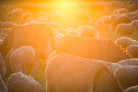 duffle: herd at sunset Stock Photo