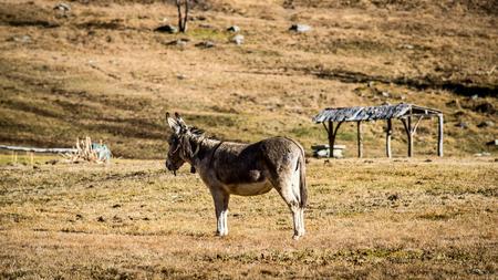 donkey: lonely donkey Ossola Valley Italy