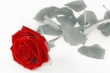 red rose on white - black and white style photo with single flower colored