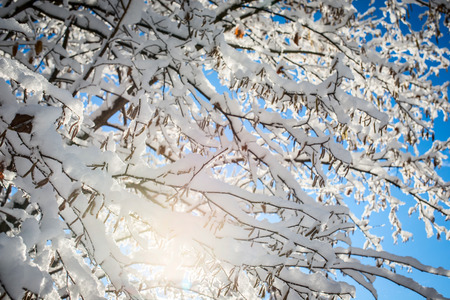 winterly: beautiful tree branches snowy and blue sky Stock Photo