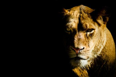 暗闇の中からライオン