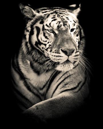 catlike: tiger black and white portrait